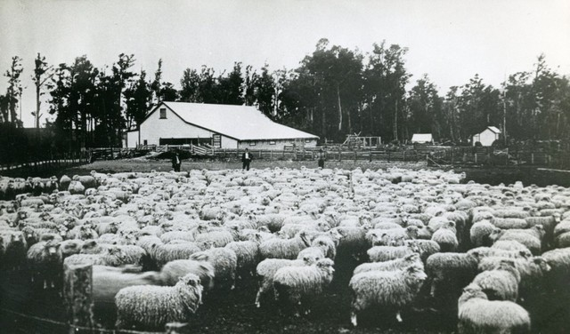 Old woolshed and ewes